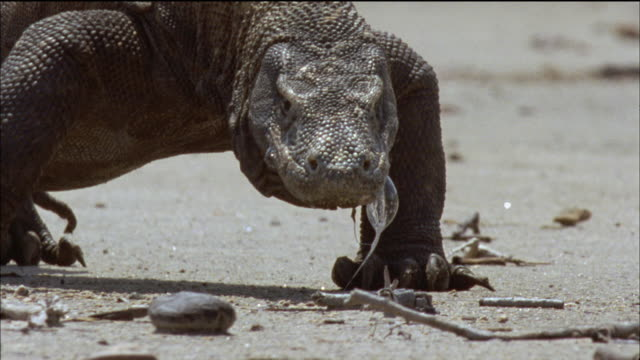 vidéos et rushes de slo mo cu komodo dragon (varanus komodoensis) walking towards camera / komodo national park, east nusa tenggara, indonesia - animal mouth
