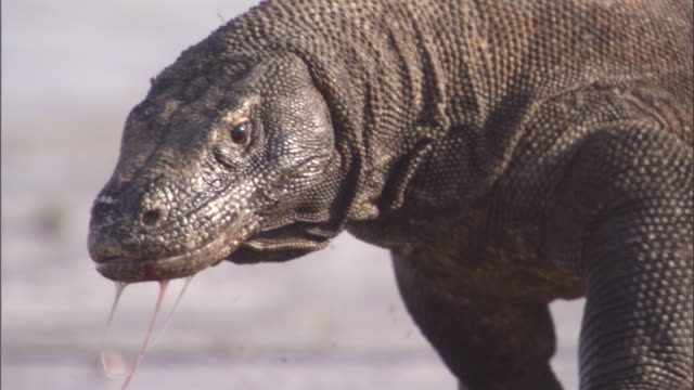 a komodo dragon walks along a beach. available in hd. - animal wildlife stock videos & royalty-free footage