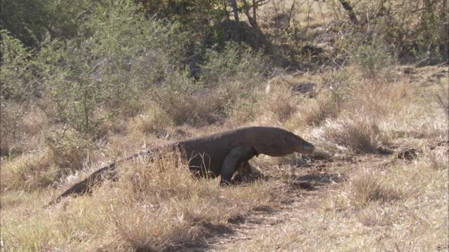 Komodo dragon walks through grass.