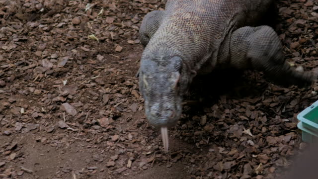 komodo dragon walks towards camera sticking out tongue - captive animals stock videos & royalty-free footage