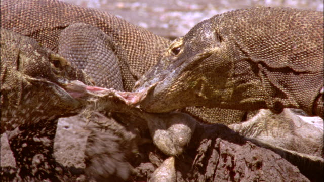 komodo dragons rip apart their prey. - aggression stock videos & royalty-free footage
