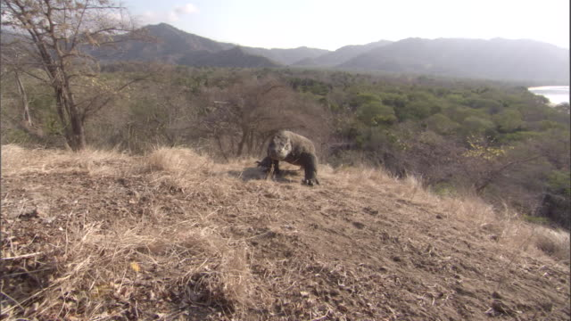 Komodo drgaon walks over hill and past camera Available in HD.