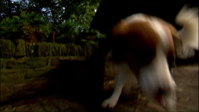 kooikerhondjes sniff around a brick patio outside a house. - brick house stock videos & royalty-free footage