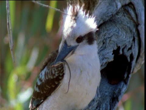 kookaburra holds small lizard in its beak, then flies away, huttah kulkyne national park, victoria, australasia - tail stock videos & royalty-free footage