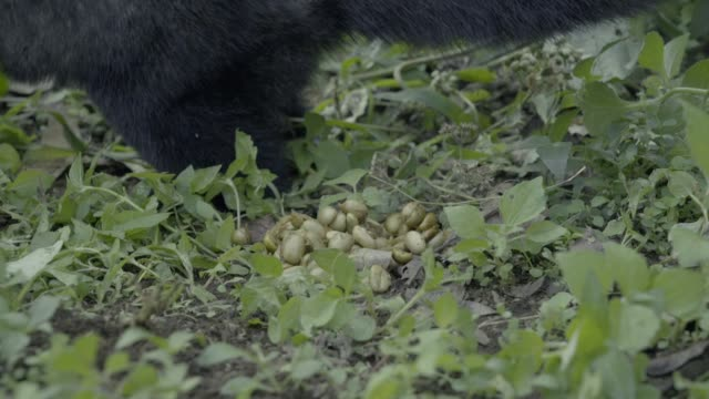 kopi luvak coffee. civet cat poop coffee. - one animal stock videos & royalty-free footage