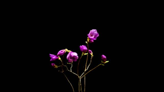 korean azalea blooming - 花頭点の映像素材/bロール