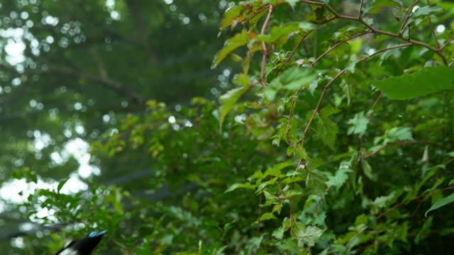 korean paradise flycatcher hunting / yangseong-myeon, chungju-si, chungcheongbuk-do, south korea - 翼を広げる点の映像素材/bロール