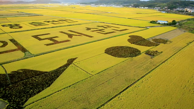 korean written crop circle drawing in rice paddy at suncheonman bay(natural landmark,ecological park) - natural landmark stock videos & royalty-free footage