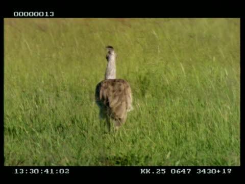 kori bustard walking thru long grass, carmine bee-eater lands on his back, walking away from camera - piggyback stock videos & royalty-free footage