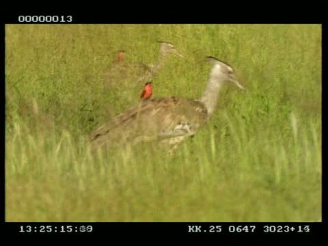 2 kori bustards walking through long grass, with carmine bee-eaters riding on their backs, side by side - piggyback stock videos & royalty-free footage