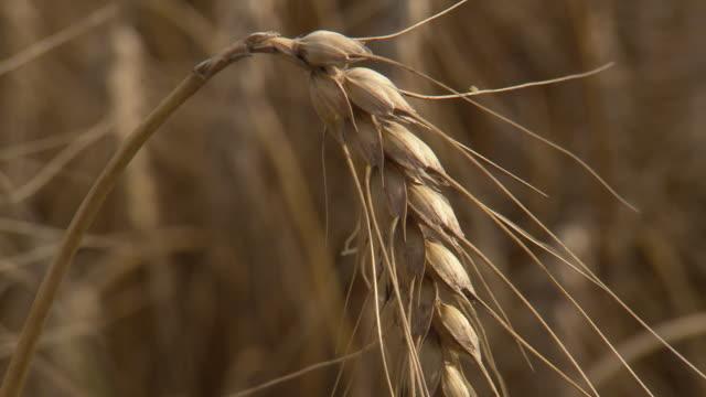 Korn zum Mehl - Corn close up in Lower Austria