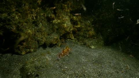 krill and scorpion fish, underwater slow motion - drachenkopf stock-videos und b-roll-filmmaterial