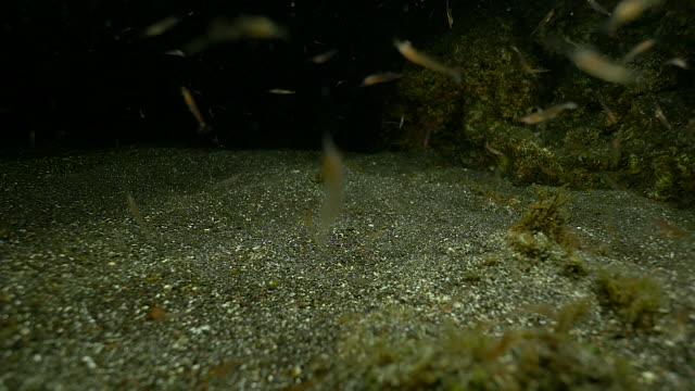 vídeos y material grabado en eventos de stock de krill moving underwater, slow motion - medium group of animals
