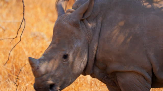 kruger national park - south africa - rhinoceros stock videos & royalty-free footage