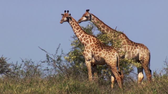 kruger national park - south africa - republik südafrika stock-videos und b-roll-filmmaterial