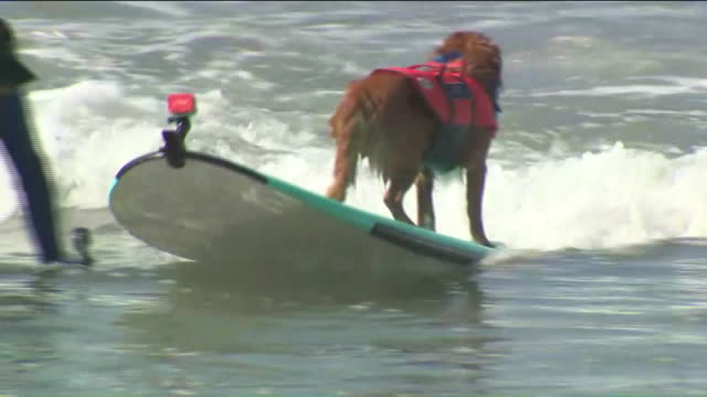 Dog Surfing in Incredible Dog Challenge