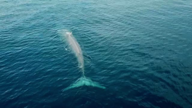 drone pov blue whale - blue whale stock videos & royalty-free footage