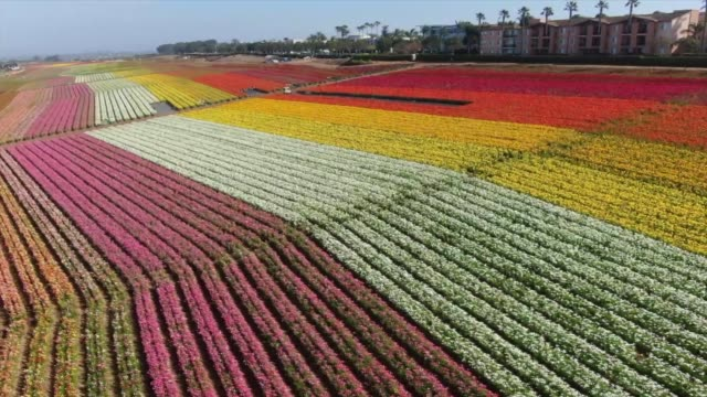 Drone POVThe Flower Fields at Carlsbad Ranch