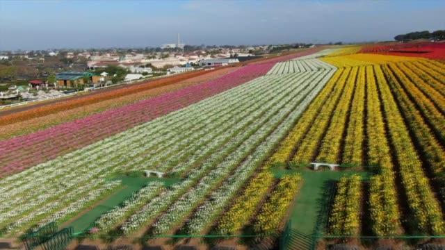 drone povthe flower fields at carlsbad ranch - カールズバッド点の映像素材/bロール