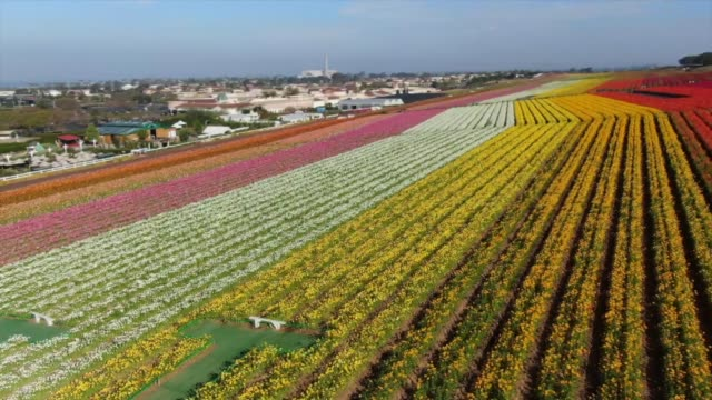 stockvideo's en b-roll-footage met drone povthe flower fields at carlsbad ranch - carlsbad californië