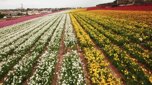 drone pov the flower fields at carlsbad ranch - carlsbad california stock videos & royalty-free footage