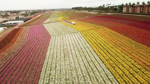 drone the flower fields at carlsbad ranch. - carlsbad california stock videos & royalty-free footage