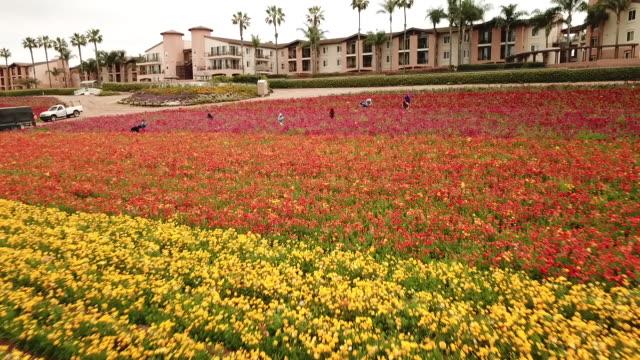 drone pov the flower fields at carlsbad ranch - カールズバッド点の映像素材/bロール