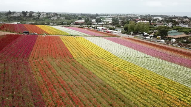 drone pov the flower fields at carlsbad ranch - ranch stock videos & royalty-free footage