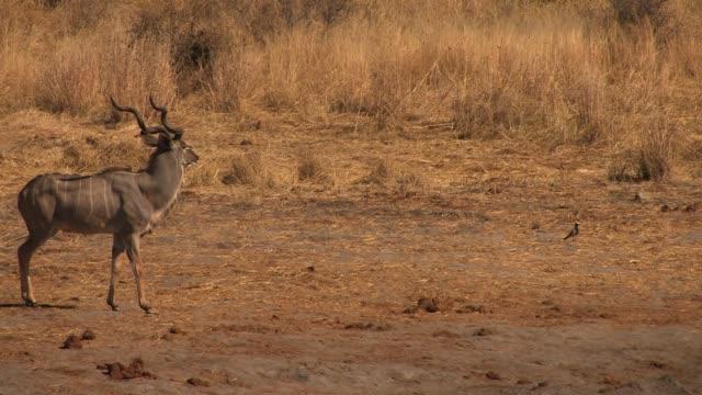 vídeos y material grabado en eventos de stock de a kudu buck stands in the open and looks around. available in hd. - zoología