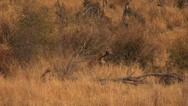vídeos y material grabado en eventos de stock de a kudu doe walks through tall grass and shrubs. available in hd. - zoología