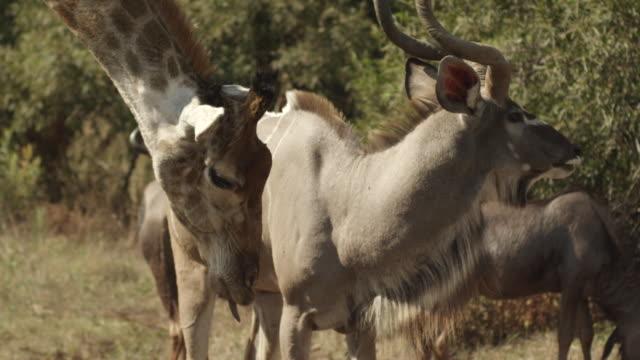 vidéos et rushes de ms kudu giraffe and wildbeests in field / johannasburg, south africa - petit groupe d'animaux
