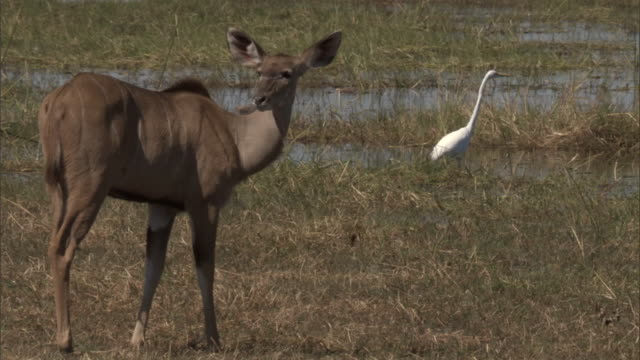 A kudu grazes in the grass of a marsh near a great white egret. Available in HD.