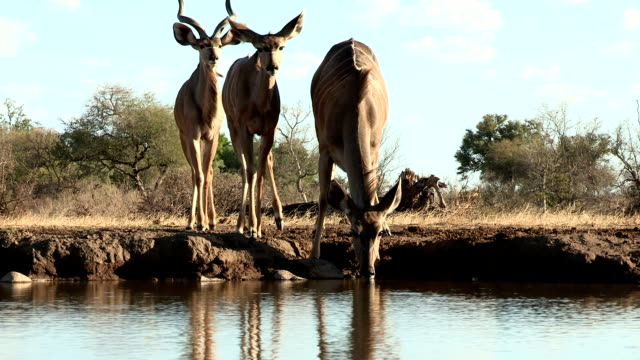 Kudu herd drinking at waterhole in Mashatu game reserve.Botswana