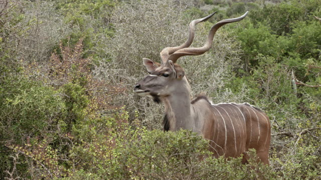 Kudu in Addo Elephant Park - shot-2