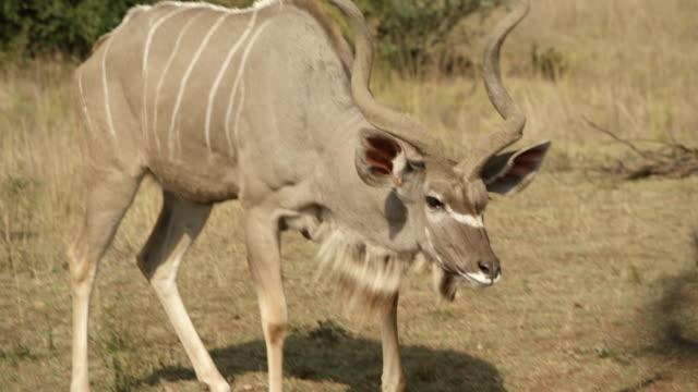 vidéos et rushes de ms ts kudu in field / johannasburg, south africa - petit groupe d'animaux