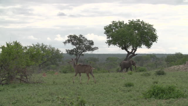 Kudu move across a crest while an elephant walks in the background in Kruger National Park, South Africa