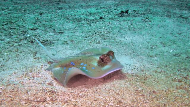kuhl's stingray (neotrygon kuhlii) feeding on shrimp - animal behaviour stock videos & royalty-free footage