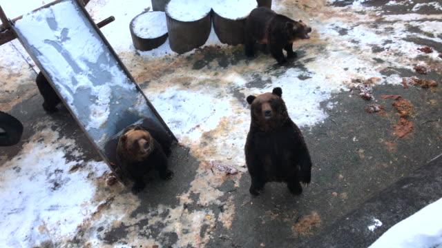 kuma bear in Japan