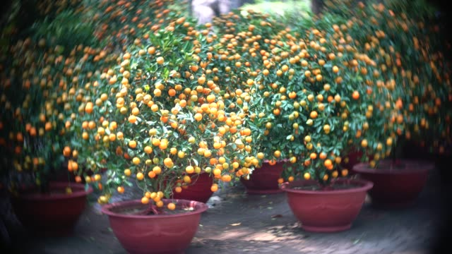 Kumquat tree with yellow fruit