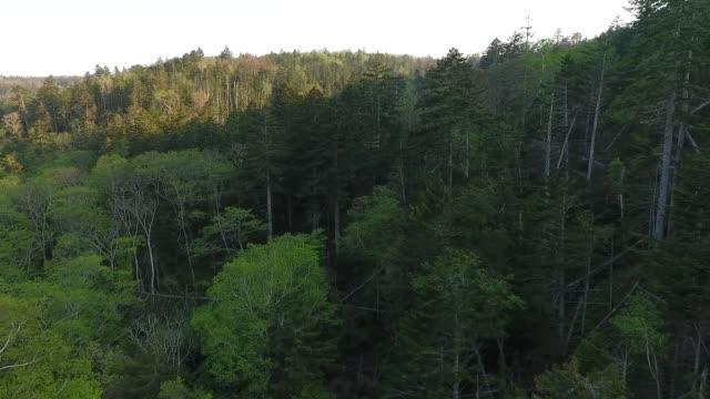 kunashir island (kuril islands) - bamboo plant stock videos and b-roll footage