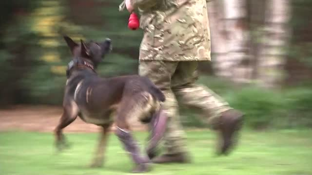 kuno the special forces dog awarded the dickin medal; england: london: woolwich: royal artillery barracks: ext close shots kuno's injured legs close... - cushion stock videos & royalty-free footage