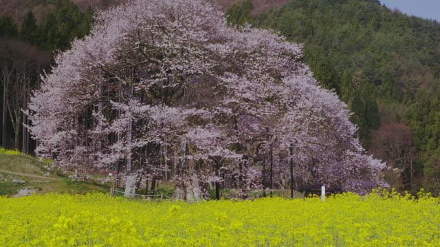 Kurobe higan cherry blossoms in oilseed rape field