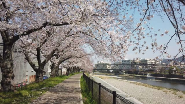 kyoto japan sakura cherry blossom view at riverside in day time
