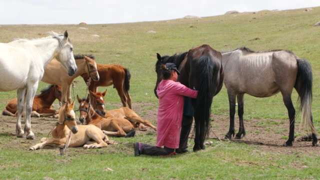 "kyrgyzstan, kyrgyz woman is milking horse ""kumis""(milk from a horse) - milking stock videos & royalty-free footage"