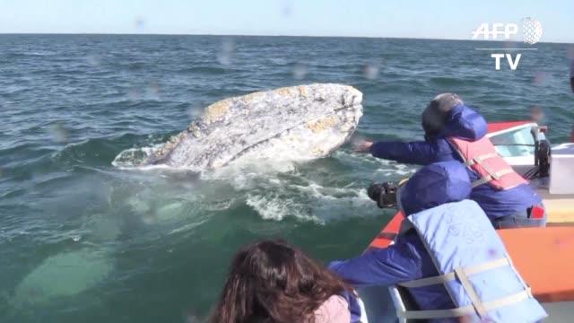 la ballena gris da a luz cada invierno en las aguas de baja california sur al norte de mexico y tras salvarse de la extincion su supervivencia ahora... - gris stock videos & royalty-free footage