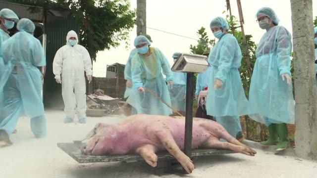 la epidemia de peste porcina africana que hace estragos en algunos países de asia debería continuar en los proximos anos con la consecuencia de... - epidemic stock videos & royalty-free footage