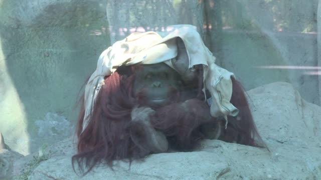 la justicia argentina estudia esta semana el destino de la orangutan sandra considerada sujeto no humano y con derecho a la libertad y que segun... - acanthaceae stock videos & royalty-free footage