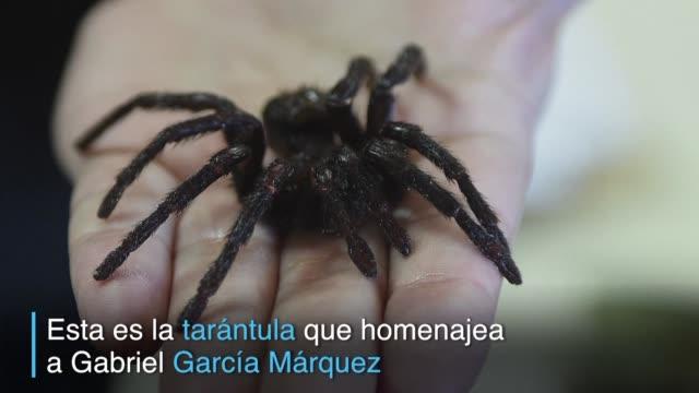 vídeos de stock e filmes b-roll de la kankuamo marquezi es una tarantula recientemente descubierta en colombia cerca del pueblo natal de gabriel garcia marquez y por eso su nombre... - literatura