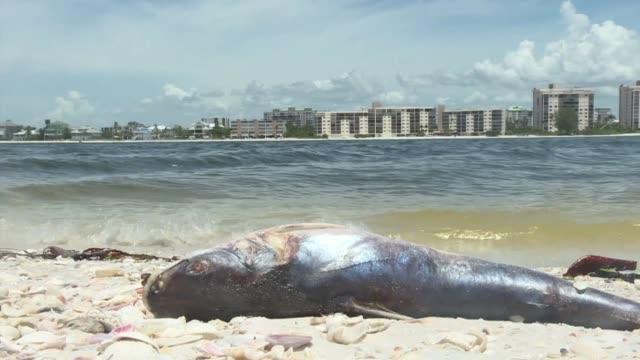 La marea roja un alga toxica e invisible que ha matado a cientos de mamiferos marinos tortugas y peces ha comenzado a sofocar tambien a la economia...
