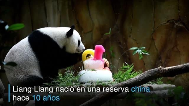 la panda gigante liang liang y su hija nuan nuan celebraron juntas el martes sus cumpleanos en el zoologico de kuala lumpur - hija stock videos & royalty-free footage